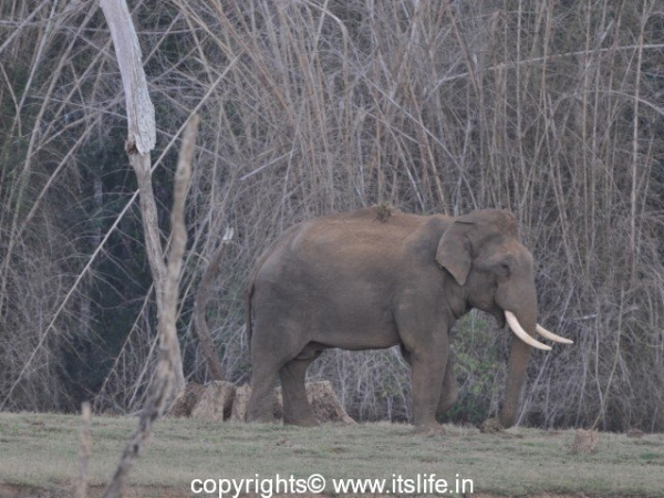 Kabini - Elephant