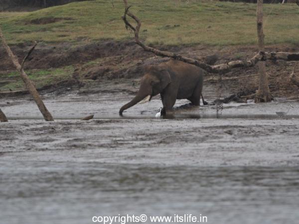 Kabini - Elephant in river