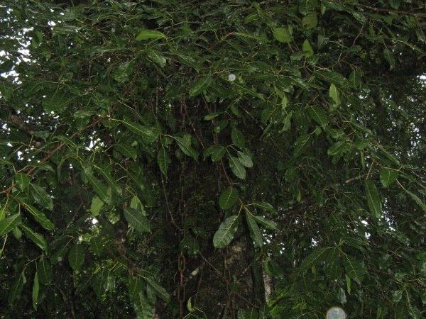 Chain Tree, Wayanad, Kerala