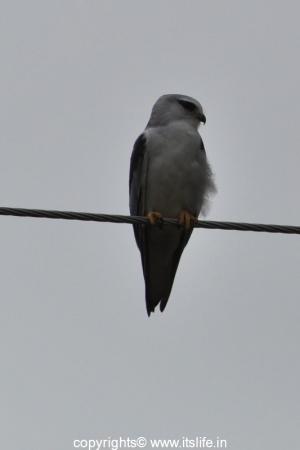 Kabini - Black Shouldered Kite