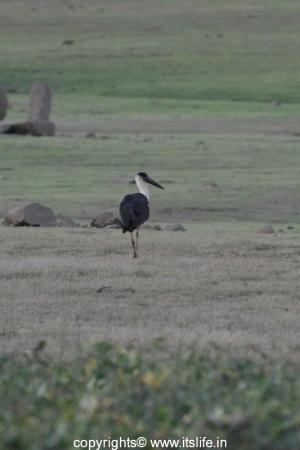 Kabini - Woolly Neck Stork