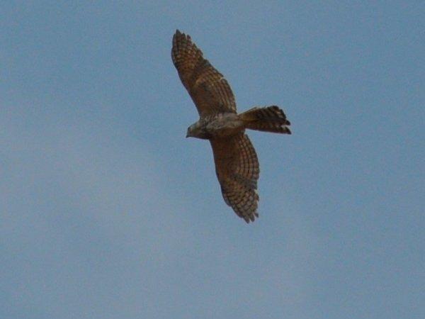 Montague Harrier