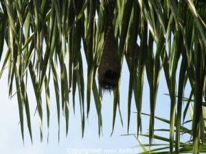 Weaver Bird Nest - Ranganathittu