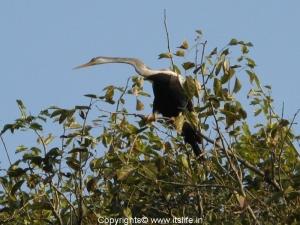 Ranganathittu - Darter - Snake Bird