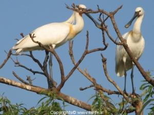Eurasian Spoonbill - Ranganathittu Bird Sanctuary