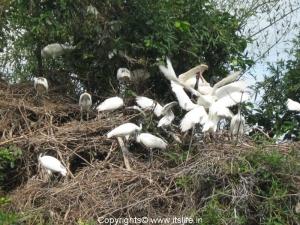 Black Headed Ibis - Ranganathittu Bird Sanctuary