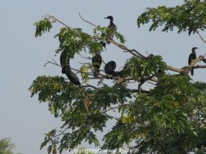 Little Cormorants - Ranganathittu Bird Sanctuary