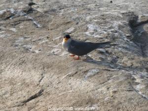 Little Tern - Ranganathittu Bird Sanctuary