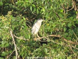 Night Heron - Ranganathittu