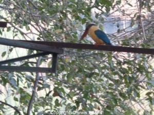 Stork Billed Kingfisher - Ranganathittu