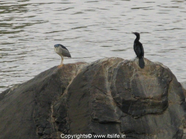 Pond Heron and Little Cormorant