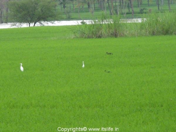 travel-krnagar-egret-glossy-ibis