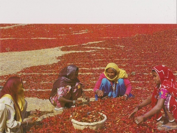 Red Chilies of Rajasthan