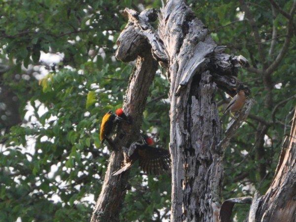 Golden-backed Woodpecker