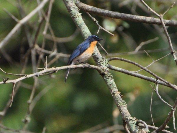 Tickell's blue flycatcher - Male