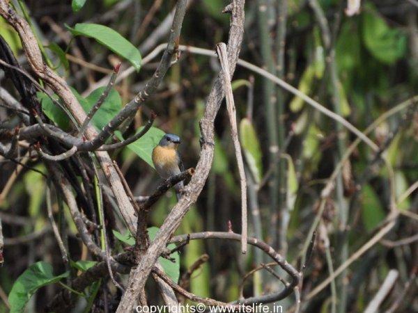 Tickell's blue flycatcher - Female