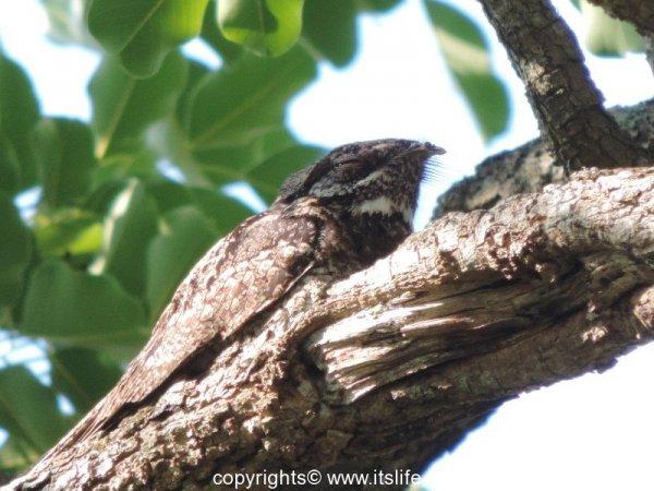 Indian Nightjar