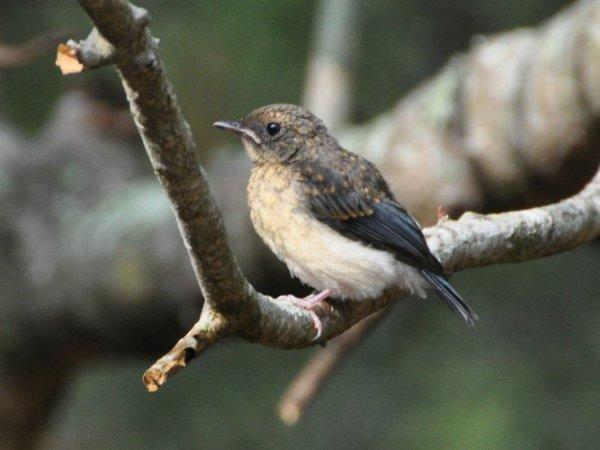 Magpie Robin - Juvenile