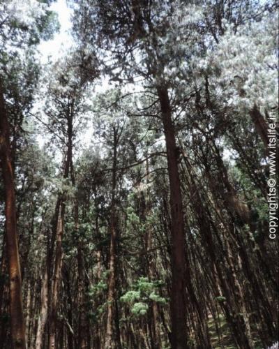 Pine forests of Kodaikanal