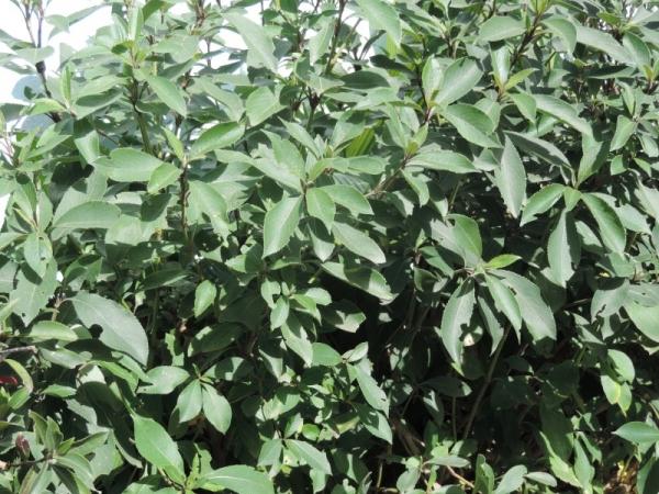 Kurinji Plant