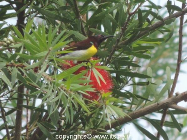 Purple Rumped Sunbird - Byndoor