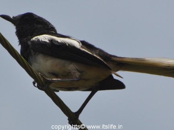 Magpie Robin - Baindur