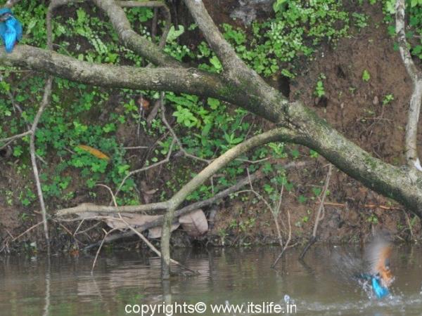 Small Blue Kingfisher - Byndoor