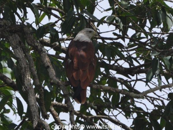 Brahminy kite - Baindur