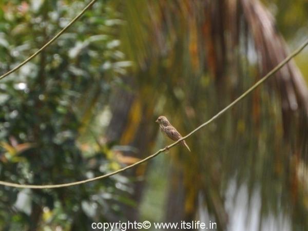 Baya Weaver Bird - Byndoor
