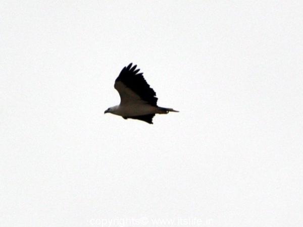 White Bellied Sea Eagle - Baindur