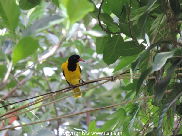 Black headed Oriole - Hattiangadi