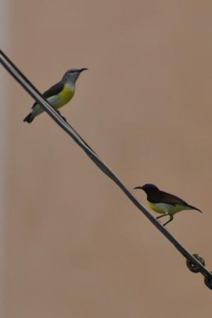 Sun Birds - Hattiangadi