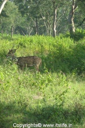 Bandipur - Spotted Deer