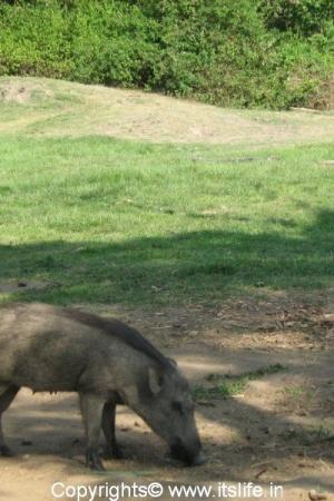 Bandipur - Wild Boar