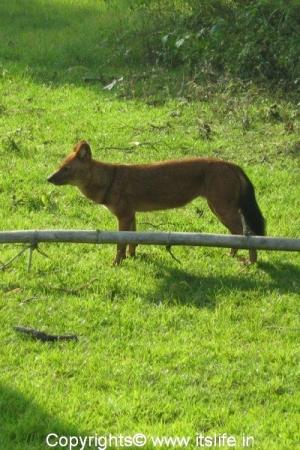 Bandipur - Wild Dog - Dhole