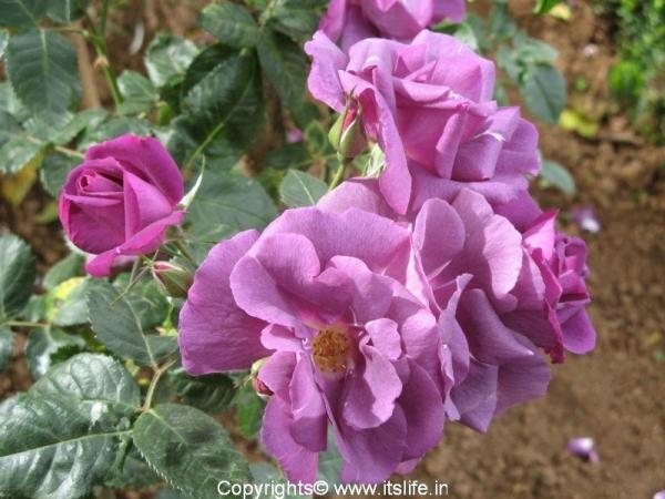 Ooty Rose Garden