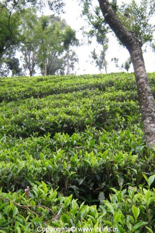 Ooty Tea Estate