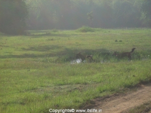 Bandipur - Wild Dogs in the pool