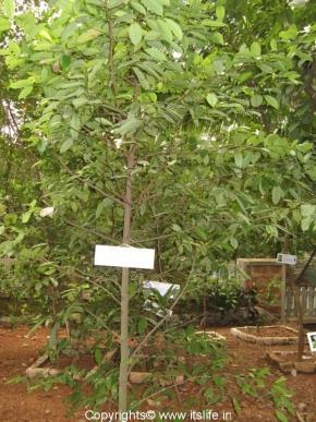 Badam Tree
