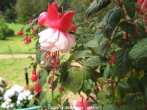 Fushia - Ooty Botanical Gardens