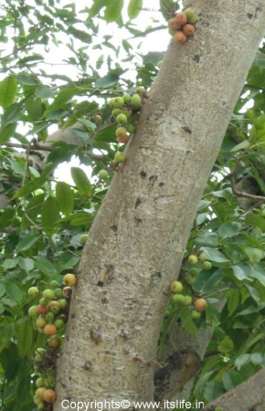 Talakadu Fig Tree