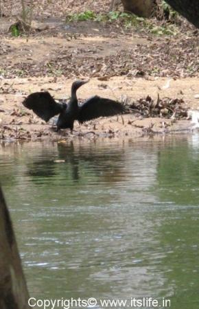 Talakadu Little Cormorant