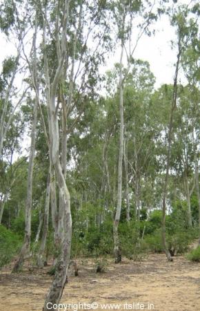 Trees of Talakadu