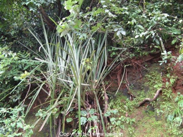 Kewda Plant