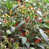 Ornamental Chilies