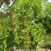 Honge or Indian Beech Tree