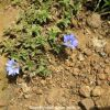 Clustered Summer Gentian