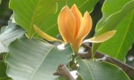 Sampige - Champaka Tree