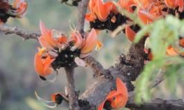 Palash Tree