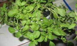 8948__600x450_gardening-majoram